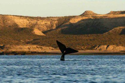 Proponen crear un Santuario de ballenas en el Atlántico Sur